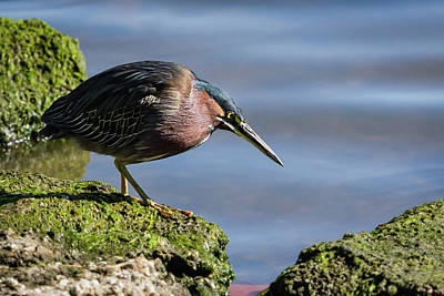 Photograph - Green Heron Portrait II by Dawn Currie