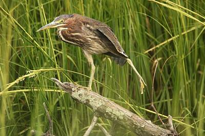 Photograph - Green Heron Practicing Yoga  by Karen Silvestri