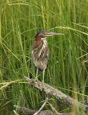 Photograph - Green Heron Profile by Karen Silvestri