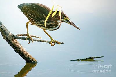 D Wade Photograph - Green Heron Sees Minnow by Robert Frederick