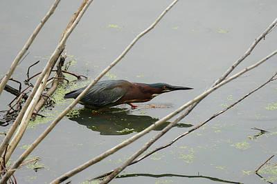 Photograph - Green Heron Stalking by Bill Jordan