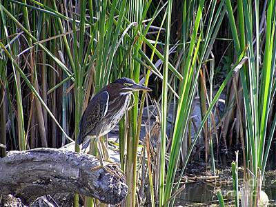 Photograph - Green Heron by Susan  Dimitrakopoulos