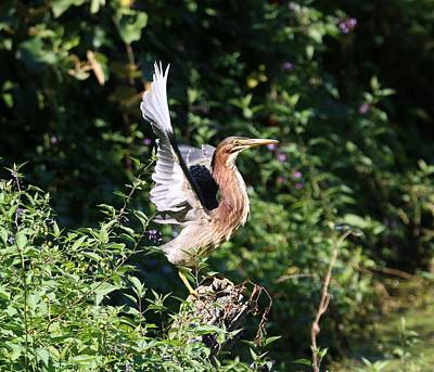 Photograph - Green Heron Taking Flight by Karen Silvestri