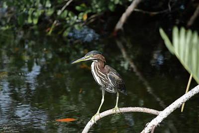 J N Ding Darling National Wildlife Refuge Photograph - Green Heron Waiting by Debra Larabee