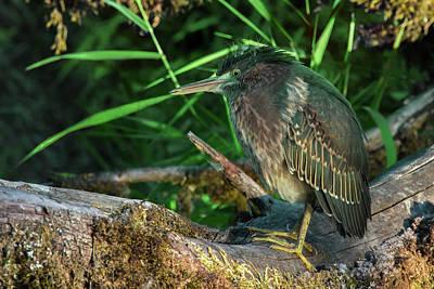 Photograph - Green Heron Warming Up by Craig Strand