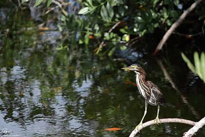 J N Ding Darling National Wildlife Refuge Photograph - Green Heron Watching by Debra Larabee