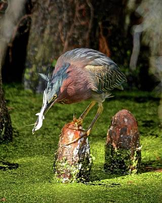Photograph - Green Heron With Salamander by Carol Bradley