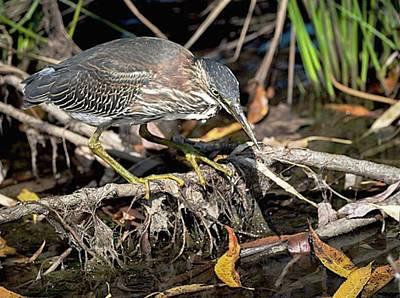 Ornithology Photograph - Green Heron Shy Shy Shy Birdie  Shot by Hsa Htaw