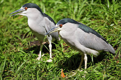 Photograph - Green Herons On The Bank by Allan Morrison