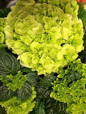 Photograph - Green Hortensia by Rosita Larsson