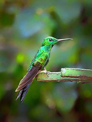 Photograph - Green Hummingbird by Carolyn Derstine