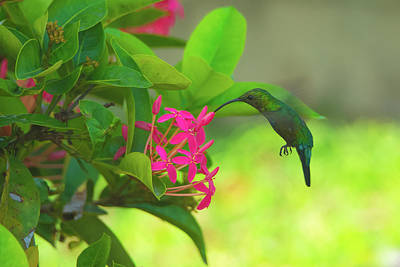 Photograph - Green Hummingbird On Red Flowers Usvi by Jeff at JSJ Photography