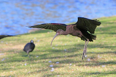 Photograph - Green Ibis 7 by Shoal Hollingsworth