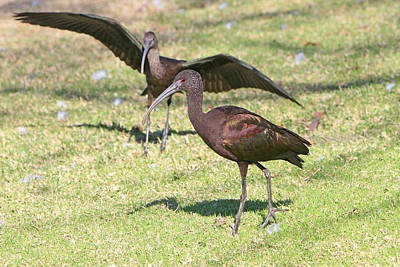 Photograph - Green Ibis 8 by Shoal Hollingsworth