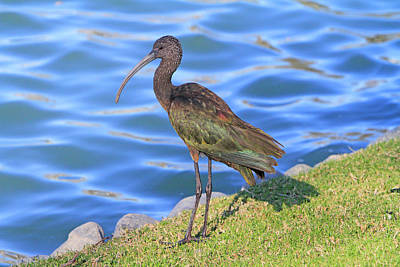 Photograph - Green Ibis 9 by Shoal Hollingsworth