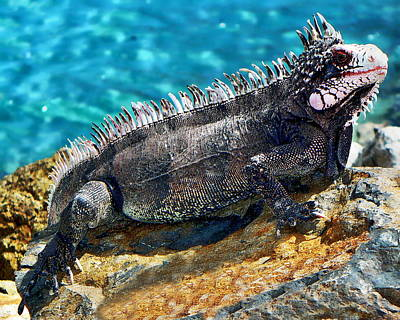 Photograph - Green Iguana by Anthony Dezenzio