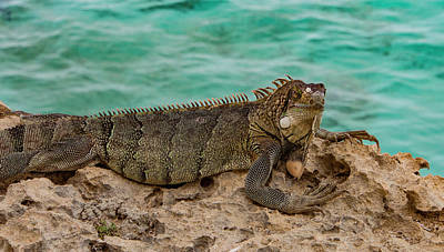 Photograph - Green Iguana Basking In Sun by Jean Noren
