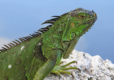 Photograph - Green Iguana by Bob Slitzan