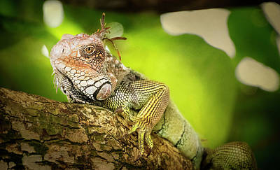 Photograph - Green Iguana Costa Rica II by Joan Carroll