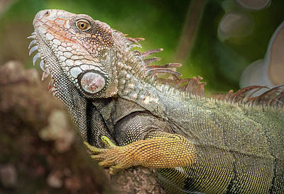 Photograph - Green Iguana Costa Rica by Joan Carroll
