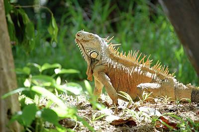 Photograph - Green Iguana, Iguana Iguana by Breck Bartholomew