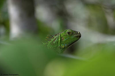 Photograph - Green Iguana by James Petersen