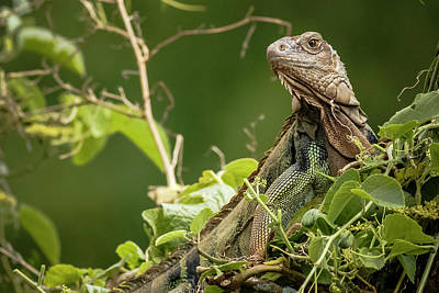 Photograph - Green Iguana Panaca Quimbaya Colombia by Adam Rainoff