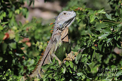 Photograph - Green Iguana by Teresa Zieba