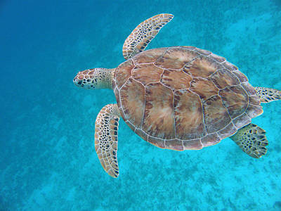 Green Sea Turtle Photograph - Green In Blue by Kimberly Mohlenhoff