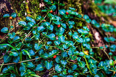 Photograph - Green Ivy With Red Berries by Chris Bordeleau