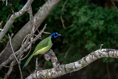 Photograph - Green Jay by Debra Martz
