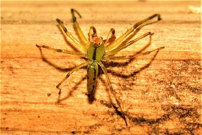 Photograph - Green Jumping Spider by Joshua Bales