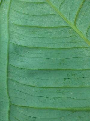 Photograph - Green Leaf 2 by Jennifer Bright
