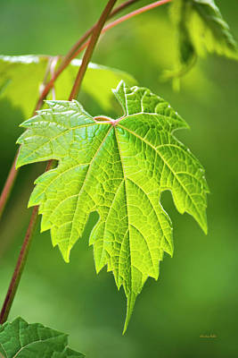 Photograph - Green Leaf Fox Grape by Christina Rollo