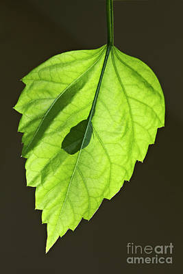 Photograph - Green Leaf by Tony Cordoza
