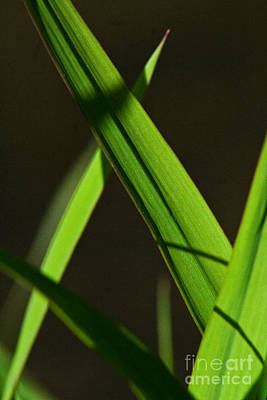 Photograph - Green Leaves In Sunlight by Martha Johnson