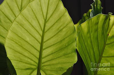 Photograph - Green Leaves by Nona Kumah