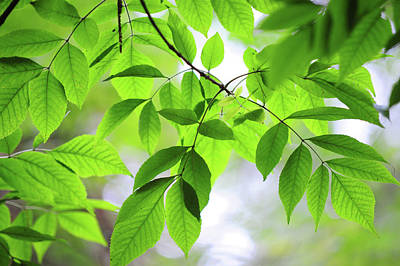 Photograph - Green Leaves Of Ash Tree by Jenny Rainbow