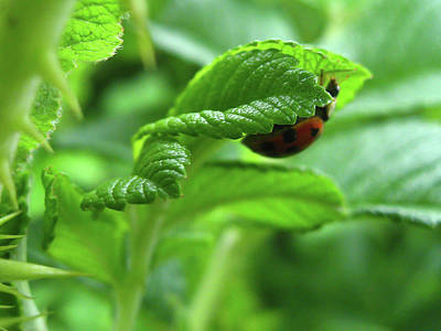 Photograph - Green Leaves With A Ladybug by Tatiana Travelways