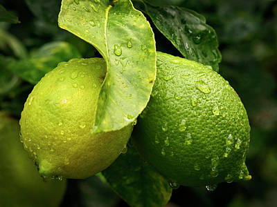 Photograph - Green Lemons 365-263 by Inge Riis McDonald