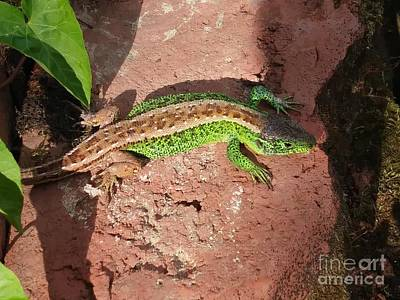 Photograph - Green Lizard #2 by Jasna Dragun
