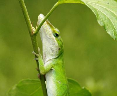 Photograph - Green Lizard On Hold by Belinda Lee