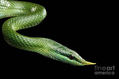 Rhinoceros Photograph - Green Long Nosed Snake, Rhinoceros Ratsnake by Sergey Taran