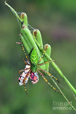 Photograph - Green Lynx Spider by Olga Hamilton