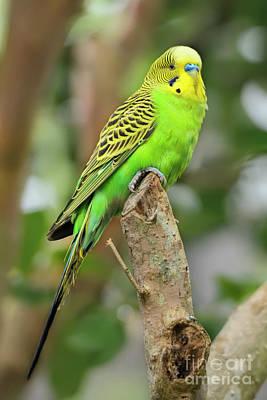 Photograph - Green Male Budgerigar by Olga Hamilton