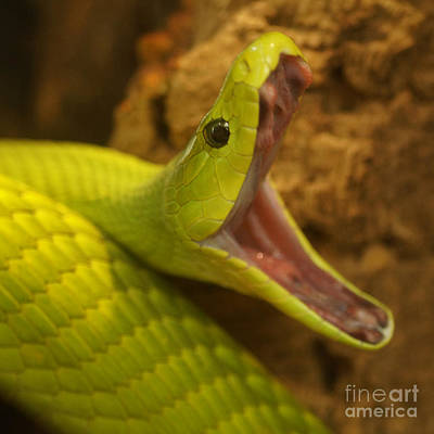 Photograph - Green Mamba 3 by Rudi Prott