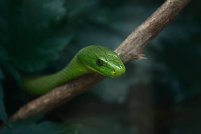 Photograph - Green Mamba   by Aidan Moran