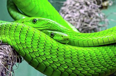 Photograph - Green Mamba Snake Art by Wall Art Prints