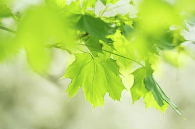 Photograph - Green Maple Tree Leaves At Spring by Judith Barath