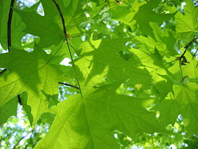 Photograph - Green Maples by Dylan Punke